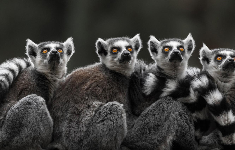 Photo wallpaper lemurs, Quartet, A ring-tailed lemur, Katta