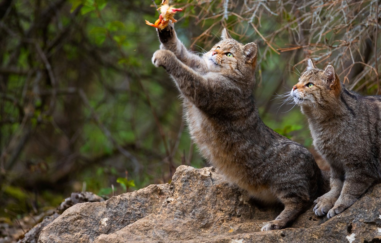 Photo wallpaper cat, look, cats, branches, nature, pose, stones, cats, paws, pair, hunting, wild, two, stand, wild, …