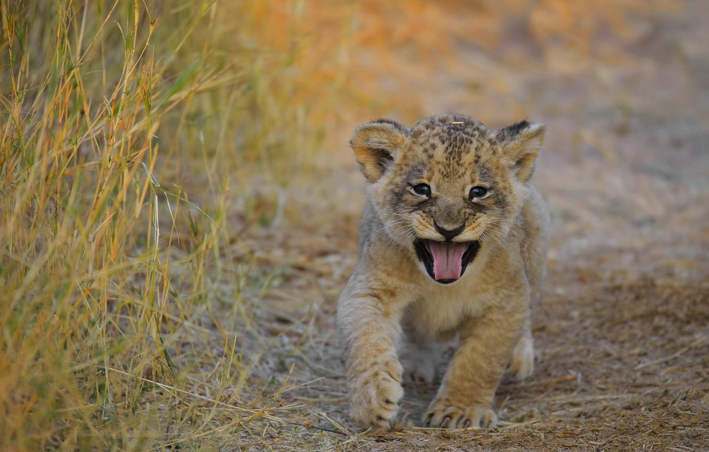 Photo wallpaper language, grass, baby, mouth, face, lion, lion