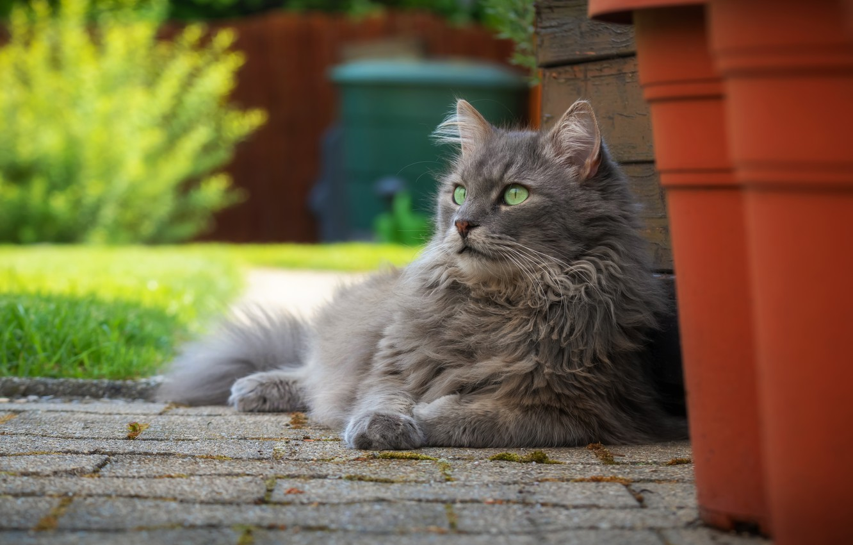 Photo wallpaper cat, cat, nature, portrait, garden