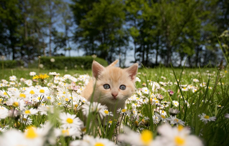 Photo wallpaper cat, summer, chamomile