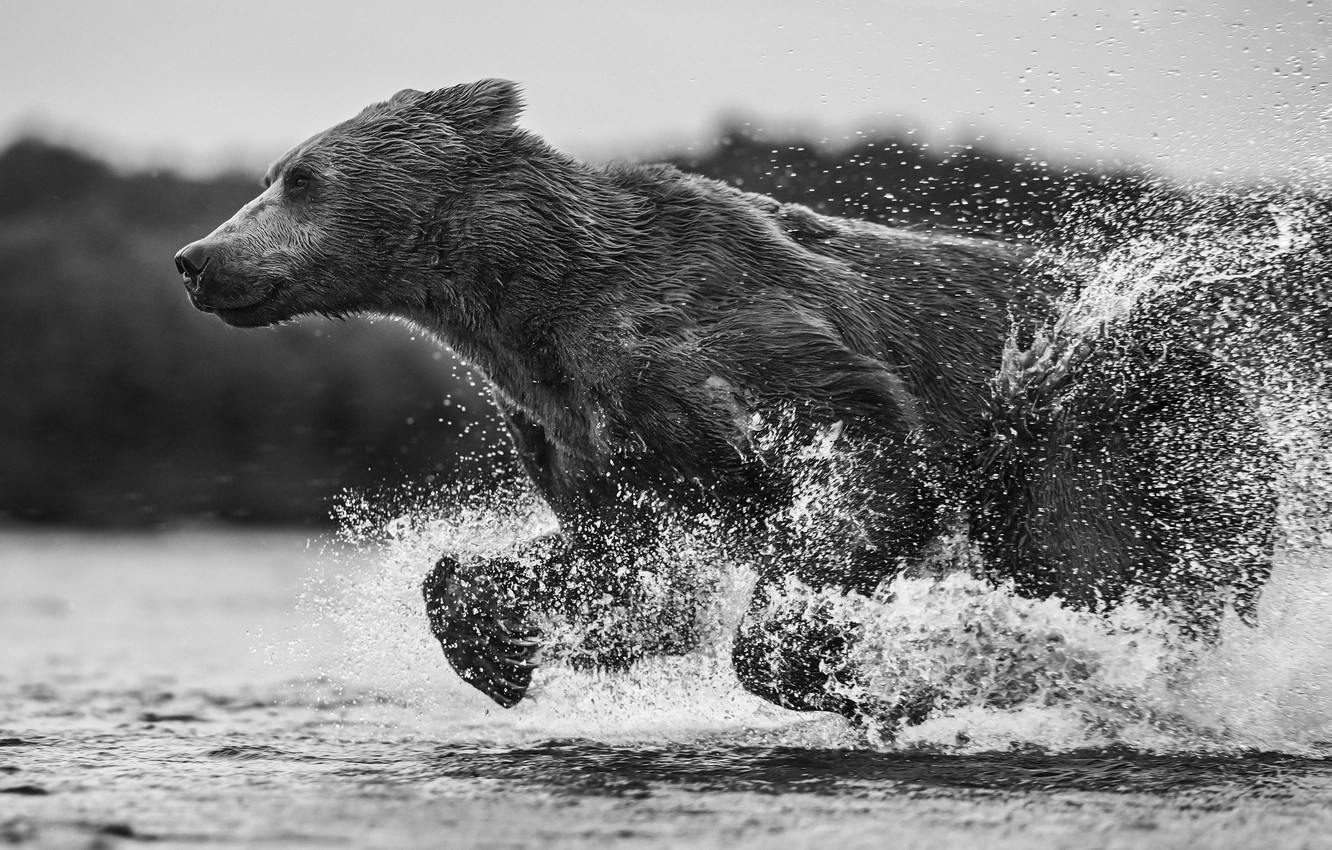 Photo wallpaper water, squirt, wet, bear, running, bear, black and white photo