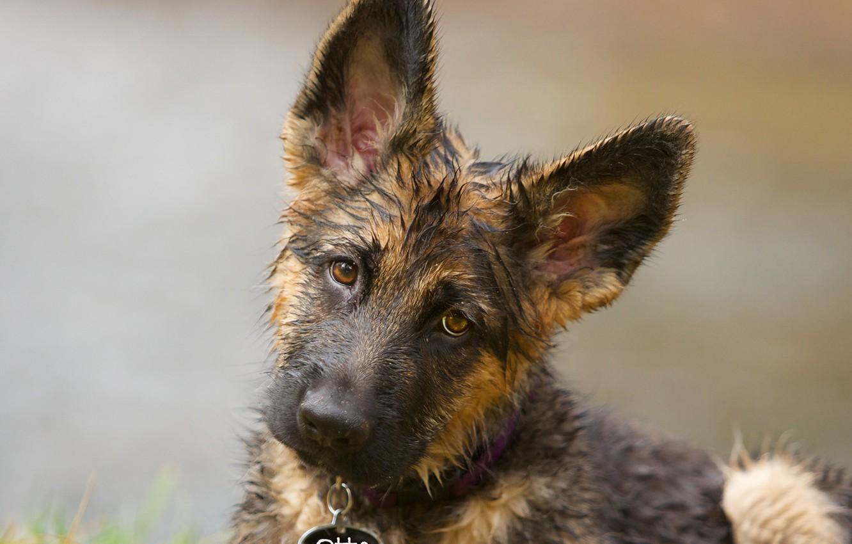Photo wallpaper look, face, background, dog, puppy, ears, German shepherd