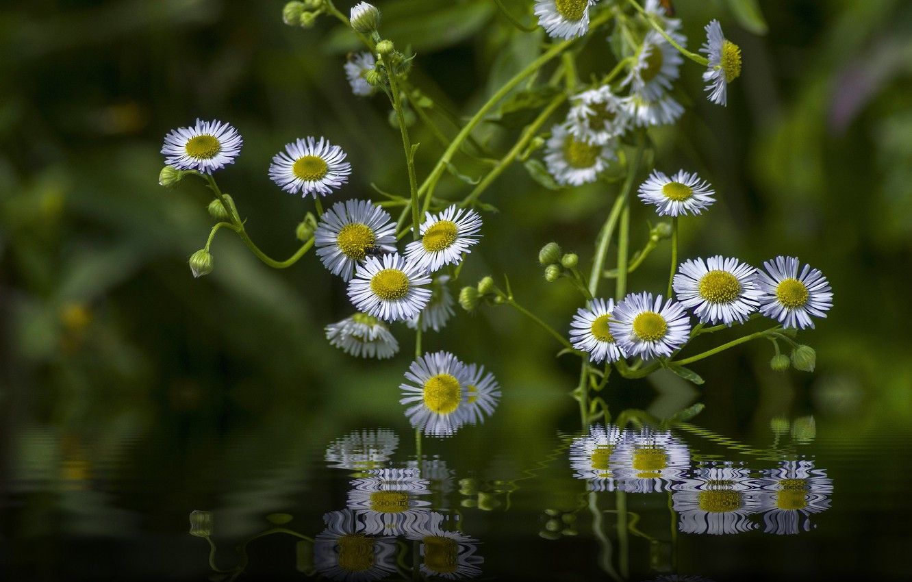 Photo wallpaper water, light, flowers, reflection, photoshop, white, green background, bokeh, composition, Daisy