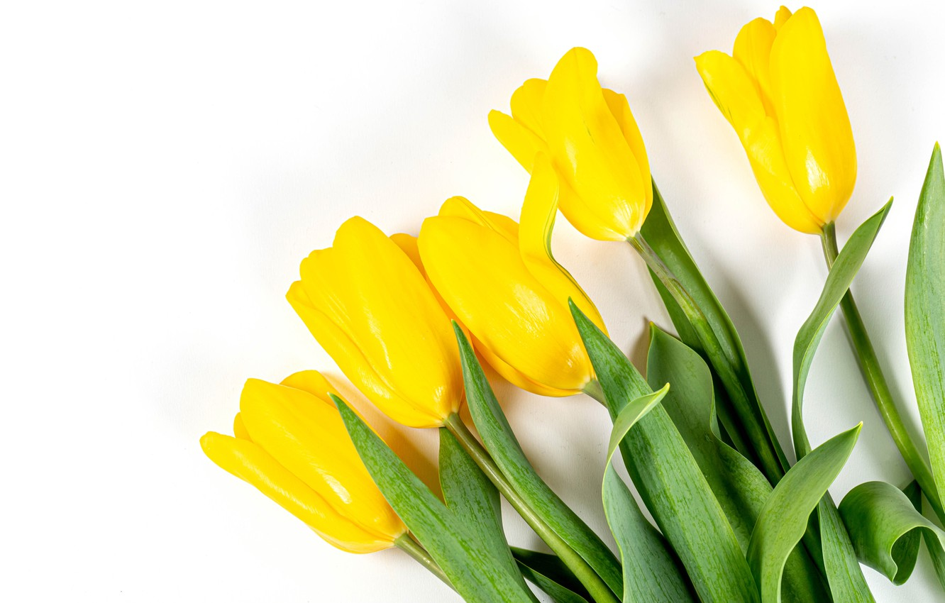 Photo wallpaper tulips, white background, buds, yellow