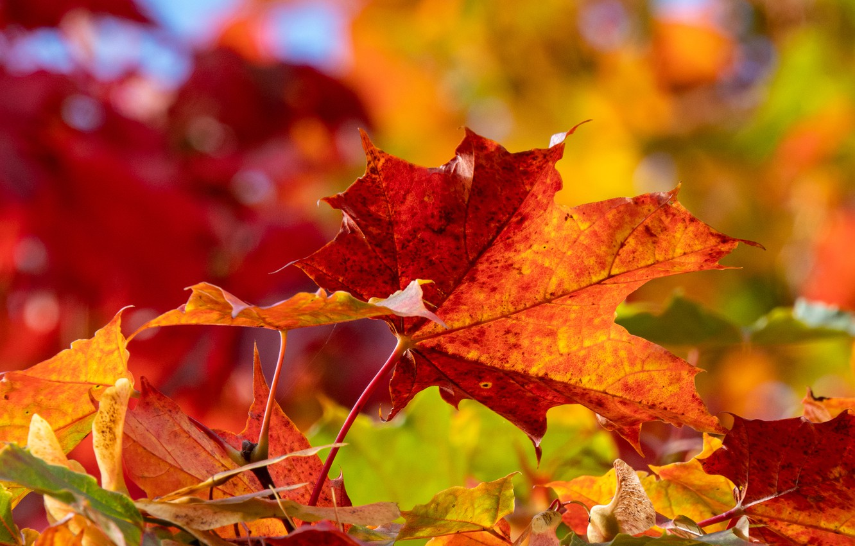Photo wallpaper autumn, leaves, macro, maple leaves, bokeh