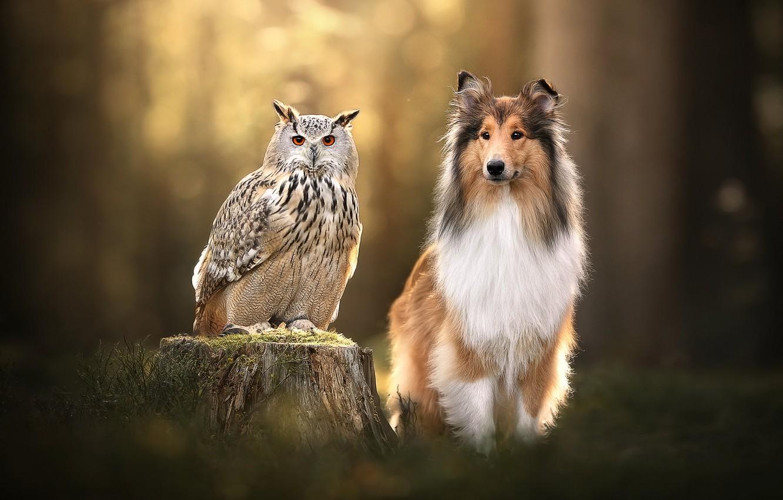 Photo wallpaper background, owl, bird, stump, dog, owl, Collie
