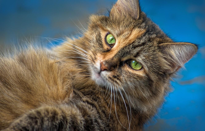 Photo wallpaper cat, cat, look, muzzle, cat
