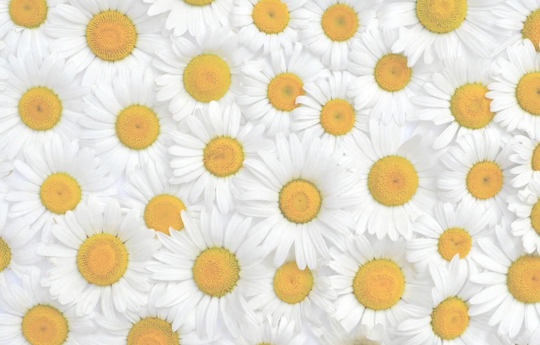 Photo wallpaper flowers, chamomile, texture