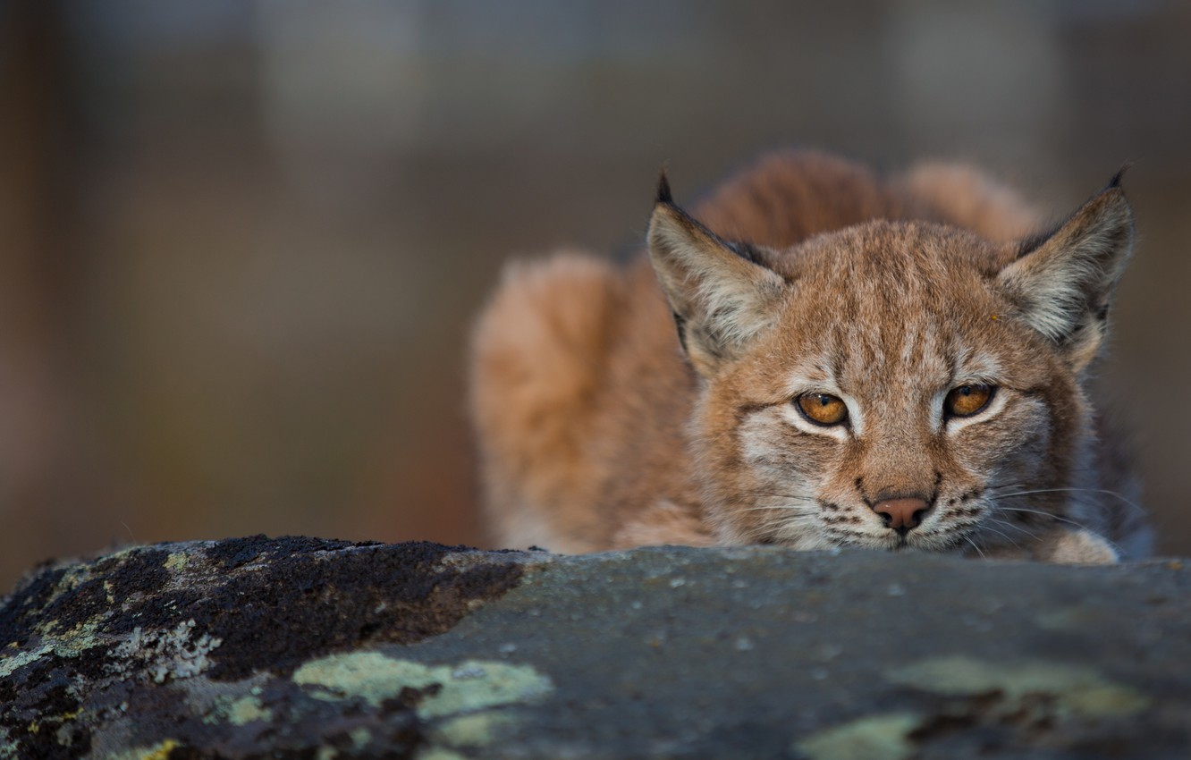 Photo wallpaper look, face, background, lynx, wild cat