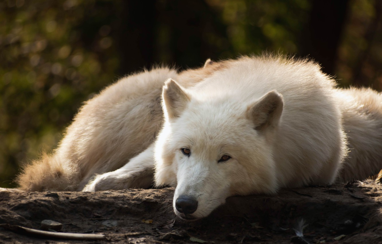 Photo wallpaper forest, white, look, face, pose, the dark background, wolf, lies, log, bokeh, polar