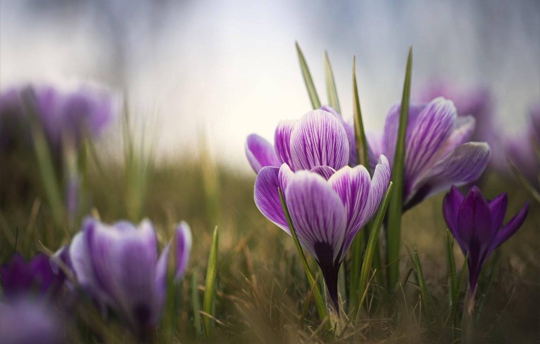 Photo wallpaper flowers, spring, crocuses, Krokus