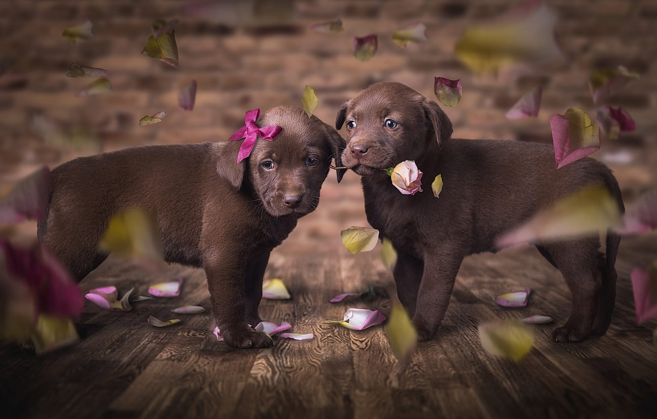 Photo wallpaper dogs, flower, look, love, flowers, pose, the dark background, background, Board, rose, beauty, eyes, petals, …