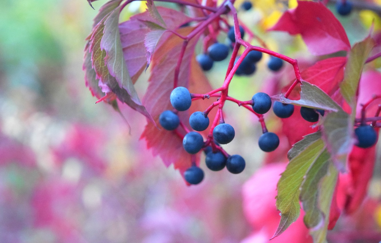 Photo wallpaper autumn, berries, grapes, red leaves