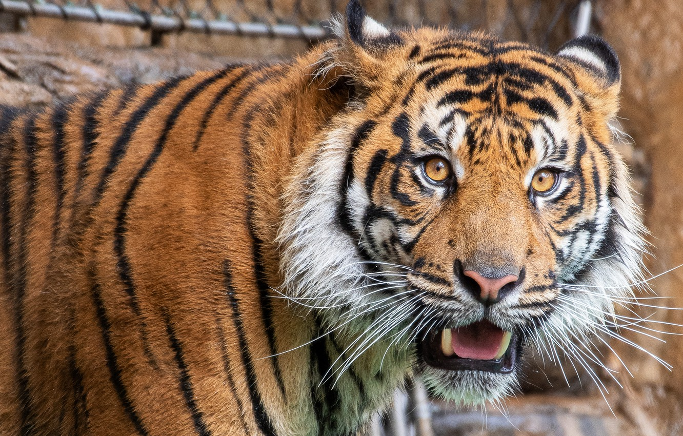 Photo wallpaper language, look, face, tiger, background, portrait, surprise, mouth, fangs, the expression, jaw dropped, open mouth