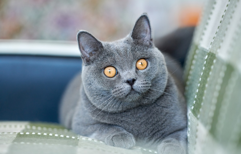 Photo wallpaper look, muzzle, cat, British Shorthair