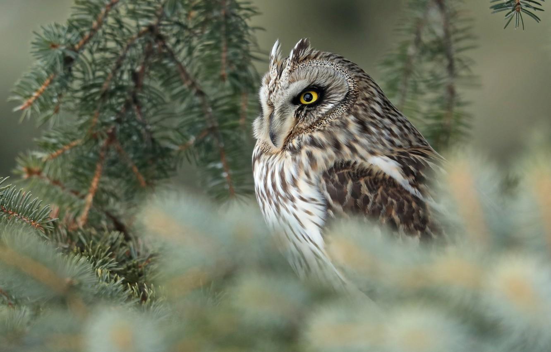 Photo wallpaper branches, owl, bird, blur, Short-eared owl