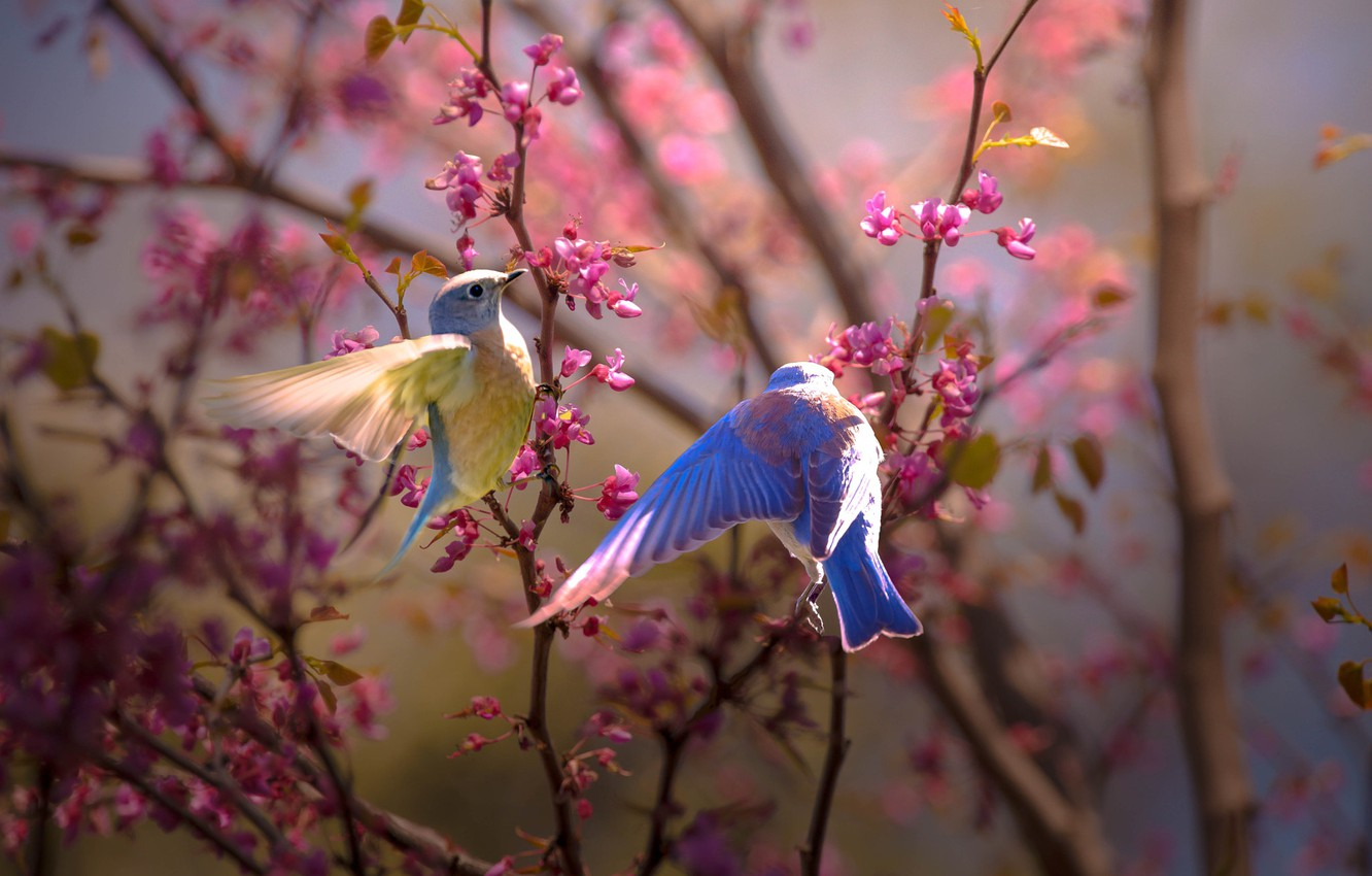 Photo wallpaper birds, branches, nature, spring, a couple, flowering, Thai Phung