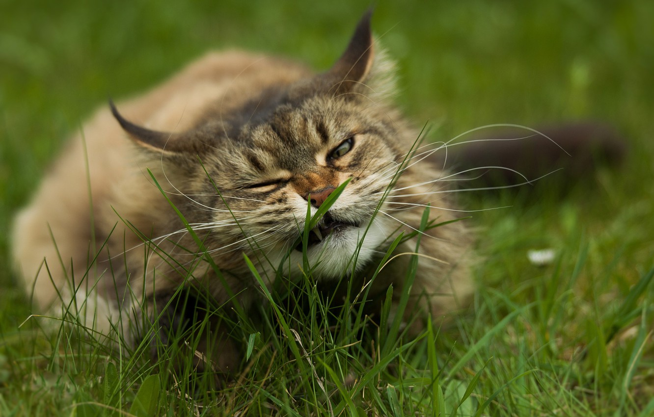 Photo wallpaper in the grass, fluffy cat, lying on the ground