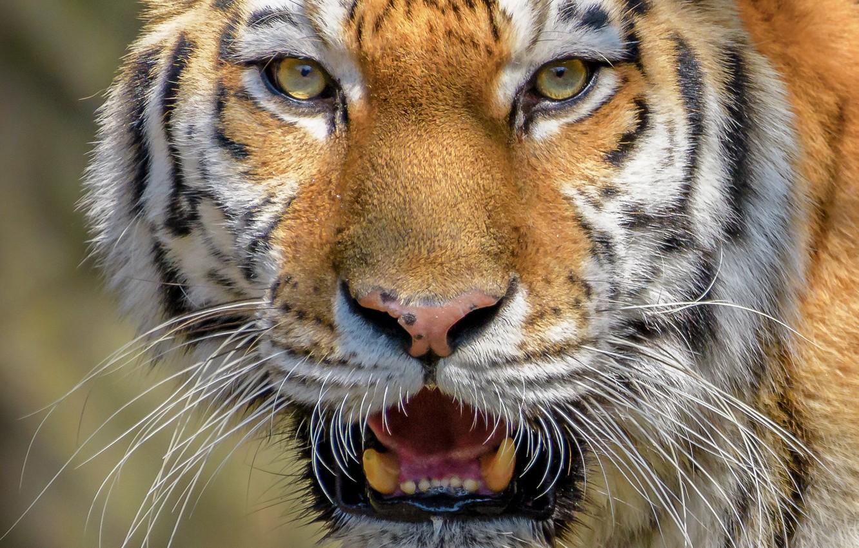 Photo wallpaper look, face, close-up, tiger, wild cat