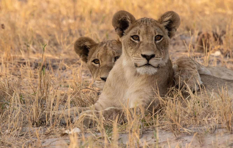 Photo wallpaper grass, Africa, wild cats, lions, lioness, lion