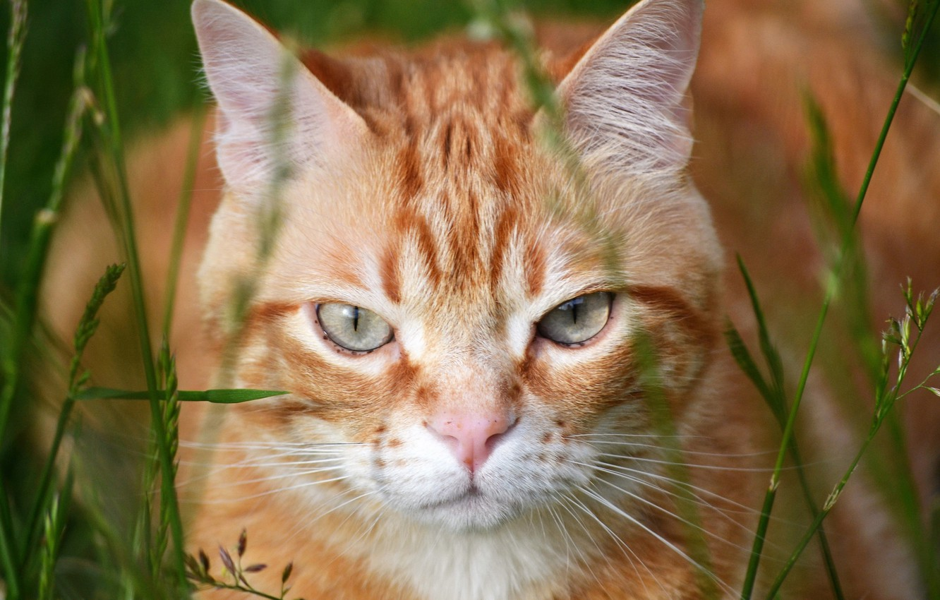 Photo wallpaper cat, look, red, muzzle, Kote, grass