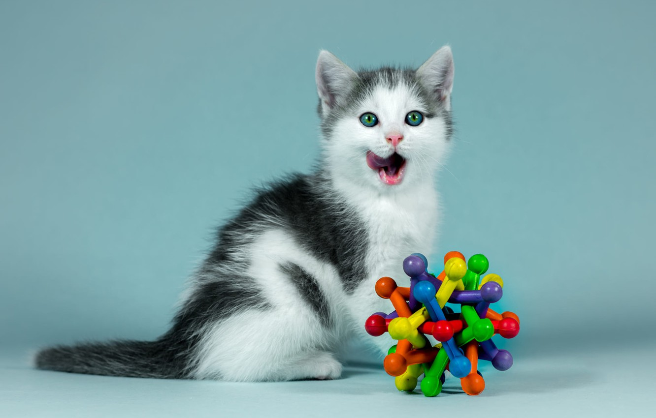 Photo wallpaper language, cat, look, kitty, background, blue, black and white, toy, portrait, baby, kitty, sitting, licked, …