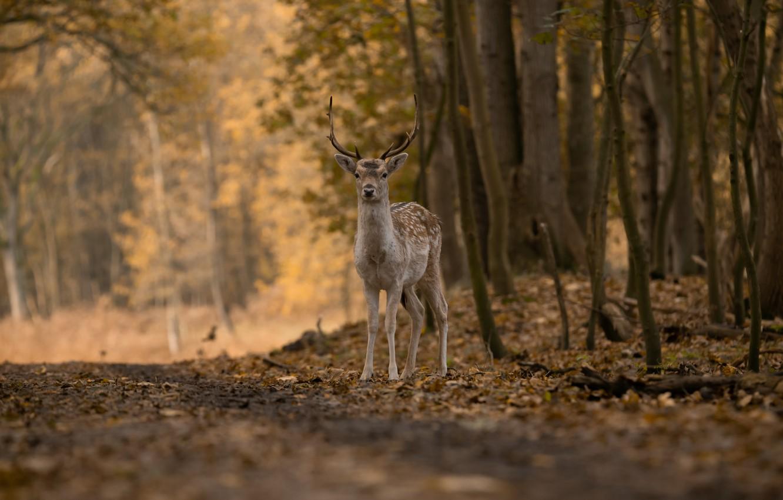 Photo wallpaper forest, nature, tree, deer