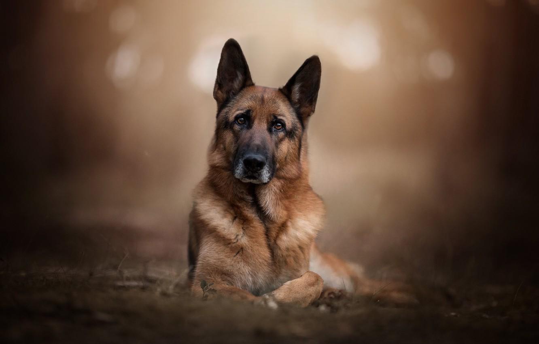 face, background, portrait, dog, bokeh