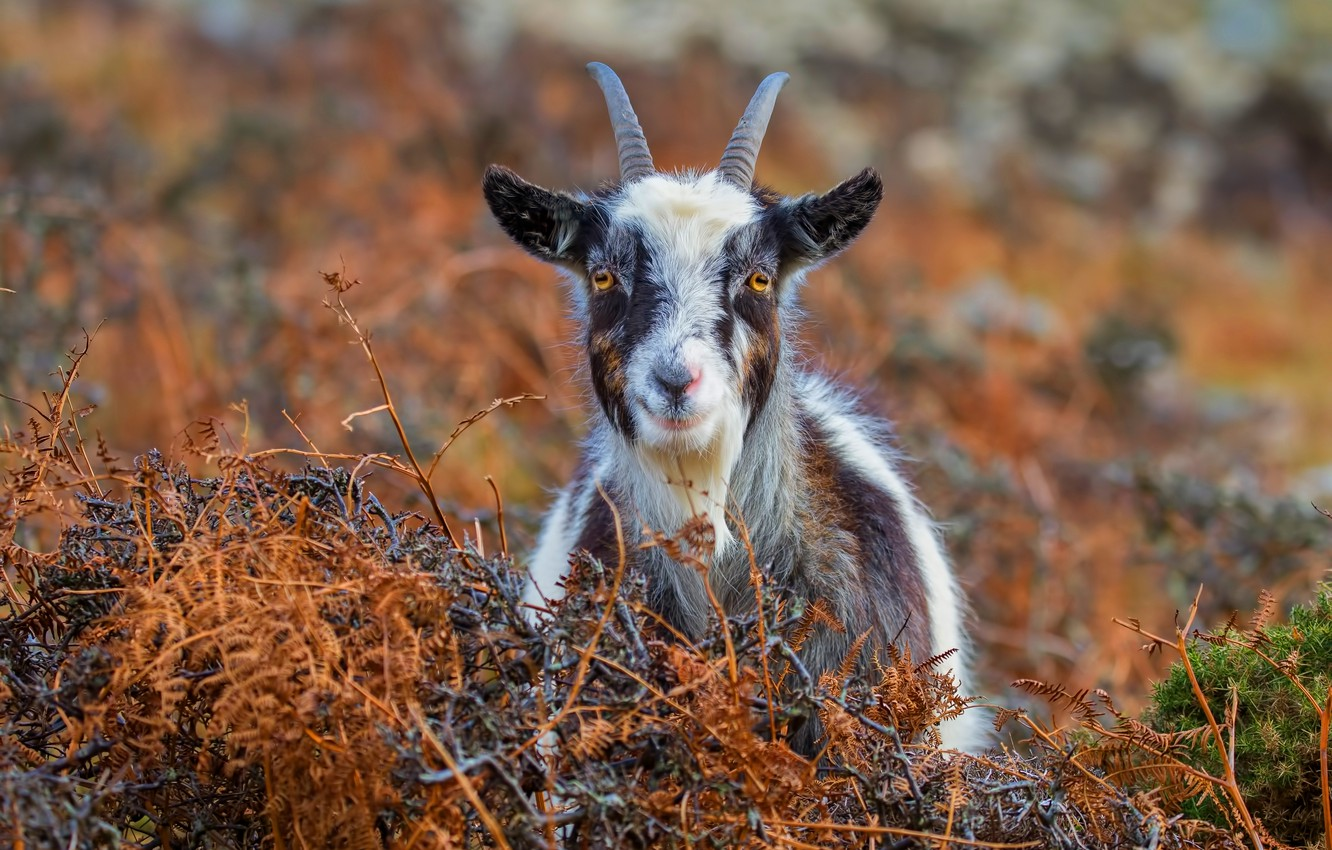 Wallpaper Autumn Grass Look Face Nature Smile Background Portrait Goat Goat Horns Happy Spotted Home Goat Goat Images For Desktop Section Zhivotnye Download