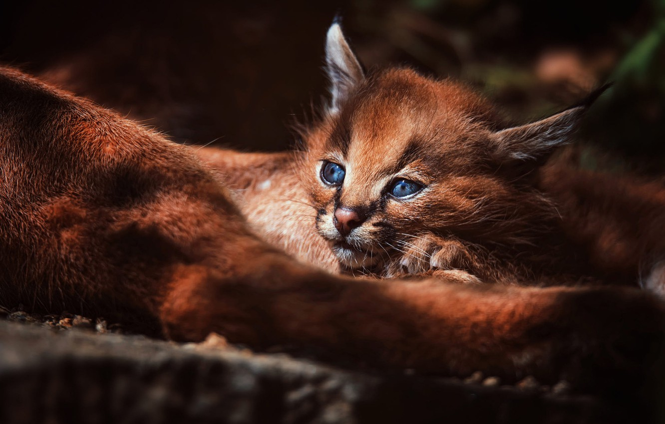 Photo wallpaper forest, cat, look, light, background, baby, lies, kitty, lynx, face, cub, wild cat, Caracal, a …