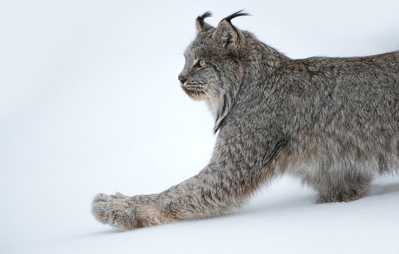 Photo wallpaper snow, paw, lynx, wild cat