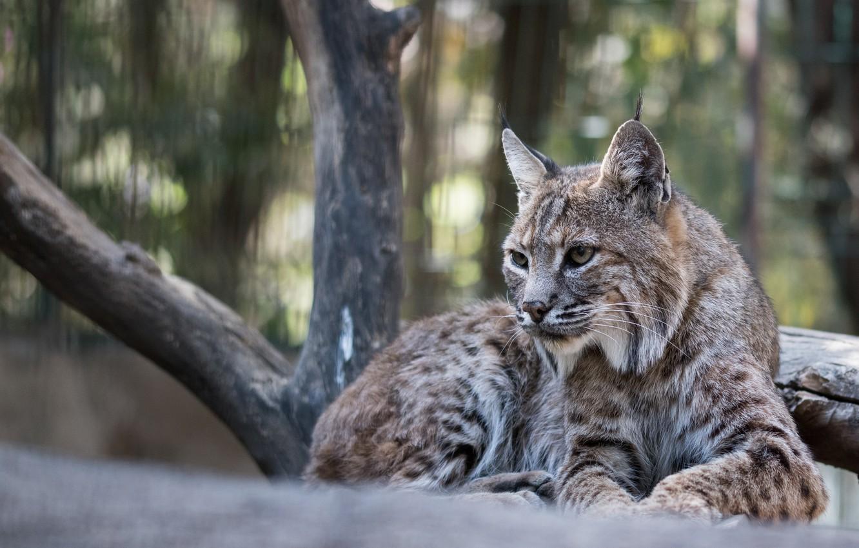 Photo wallpaper animals, look, predator, Cat, lynx