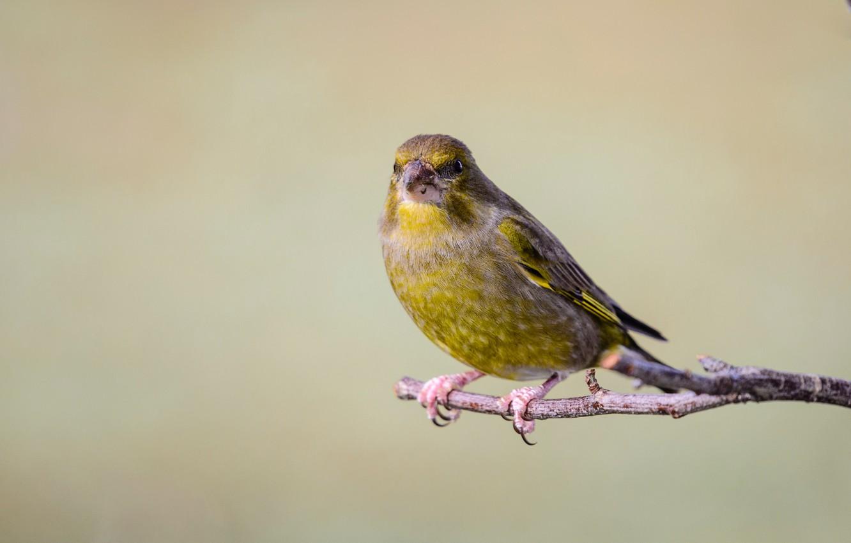 Photo wallpaper bird, branch, common zelenushka