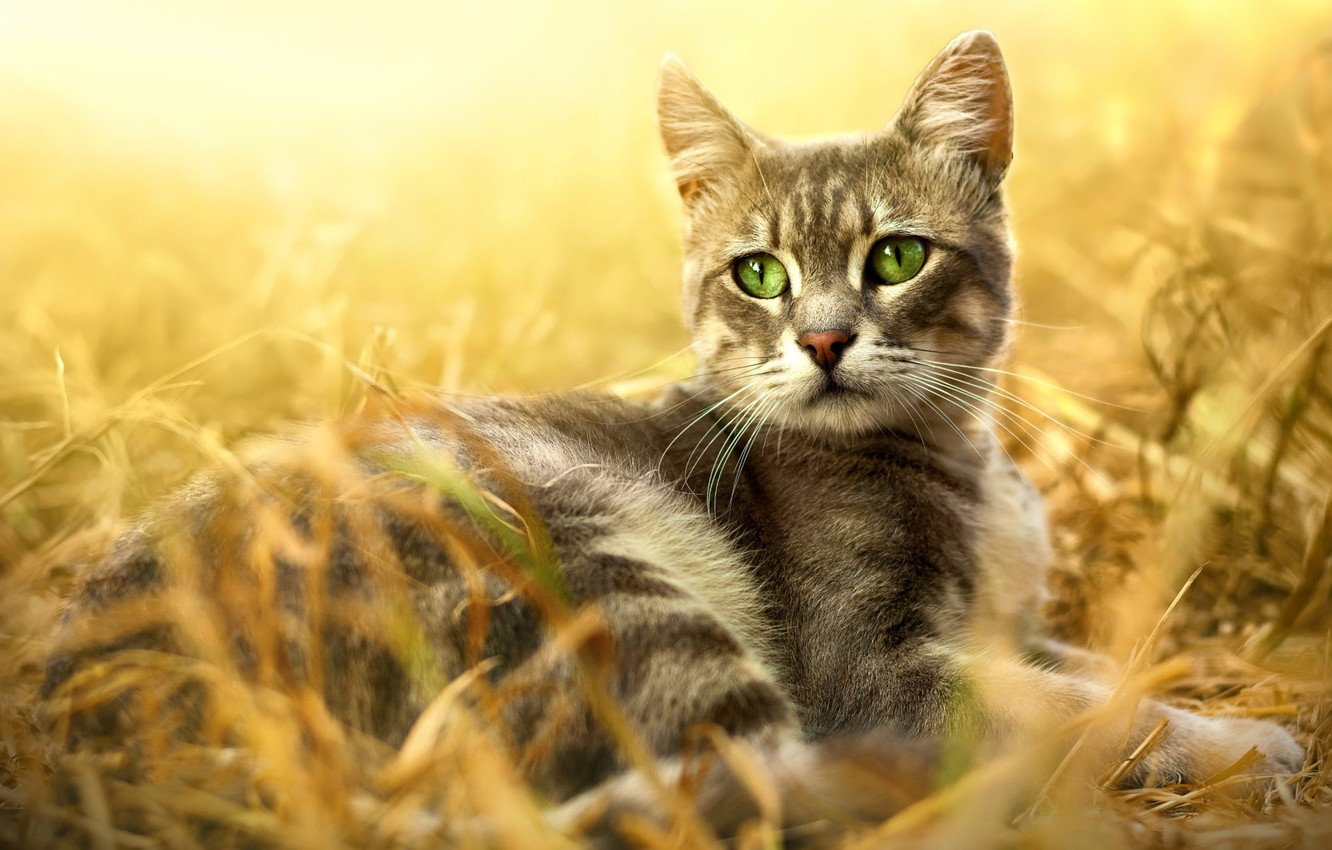 Photo wallpaper cat, grass, cat, look, light, nature, pose, background, stay, glade, portrait, lies, grey, face, striped, …