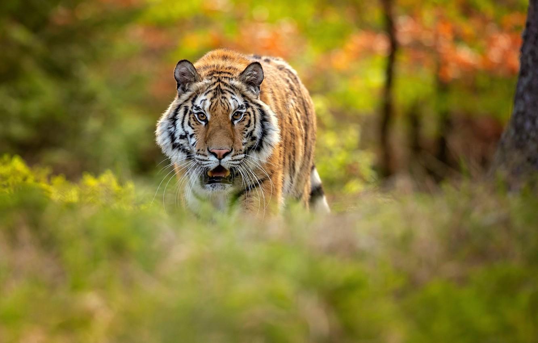 Photo wallpaper forest, tiger, bokeh, Siberian tiger