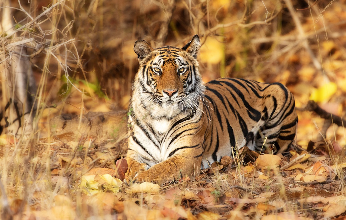 Photo wallpaper look, leaves, tiger, wild cat, handsome
