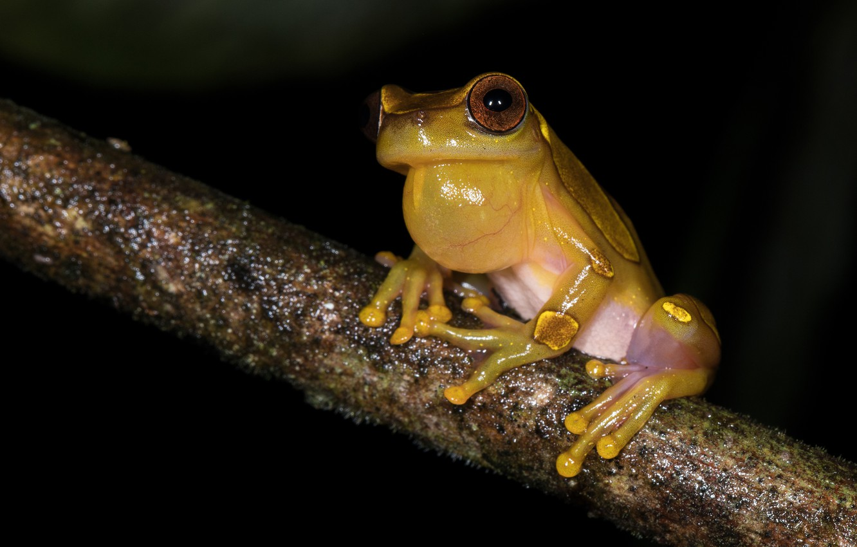 Photo wallpaper eyes, look, night, pose, frog, legs, branch, bubble, black background, sitting, yellow, dendrobates