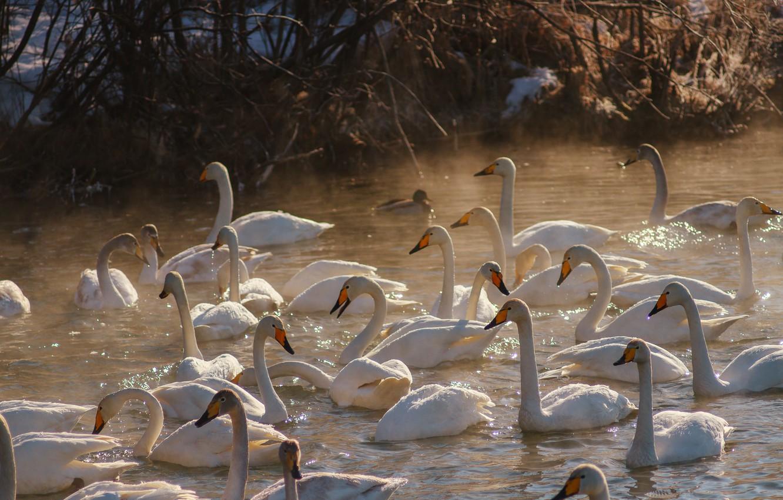 Photo wallpaper winter, birds, lake, dawn, swans