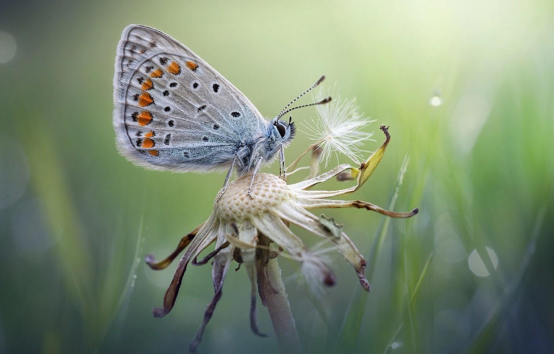 Photo wallpaper summer, macro, dandelion, butterfly, Oduvanchik