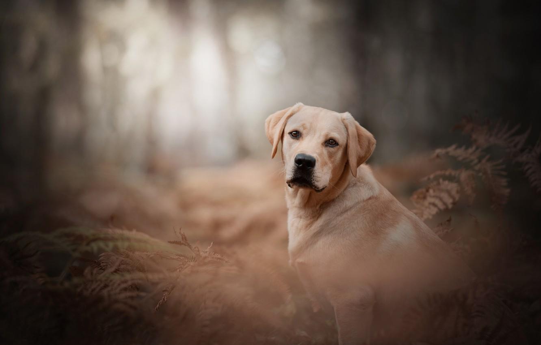 Photo wallpaper look, dog, fern, bokeh, Labrador Retriever