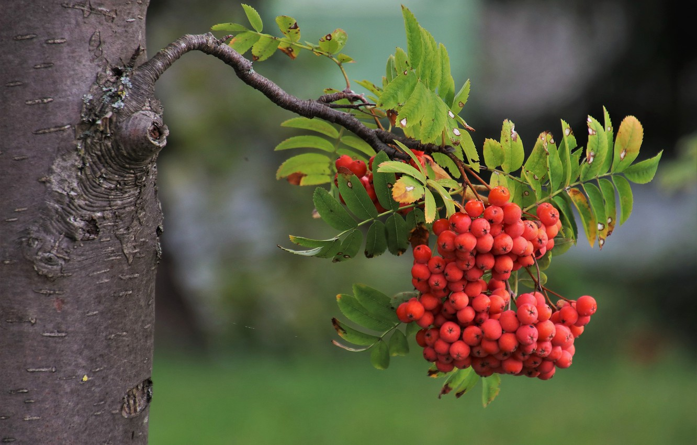 Photo wallpaper berries, tree, branch