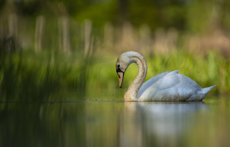 Photo wallpaper lake, bird, Swan