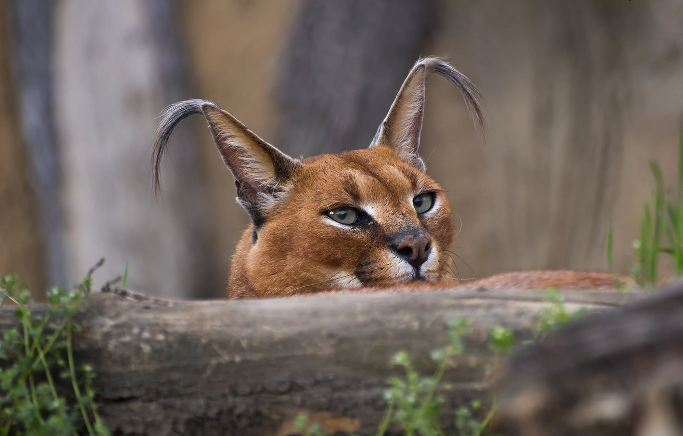 Photo wallpaper muzzle, ears, Caracal, looking into the soul