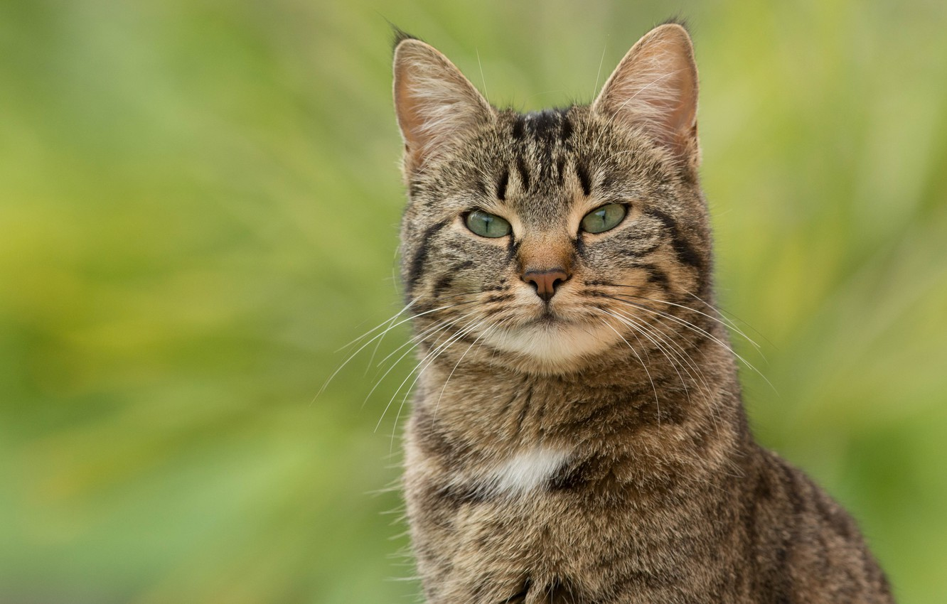 Photo wallpaper cat, cat, look, face, grey, portrait, striped, green background