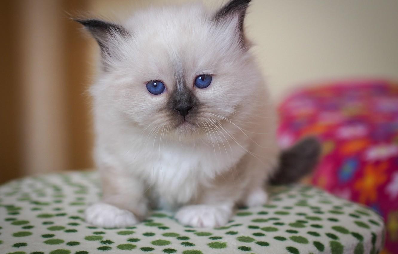 Photo wallpaper look, baby, kitty, blue eyes