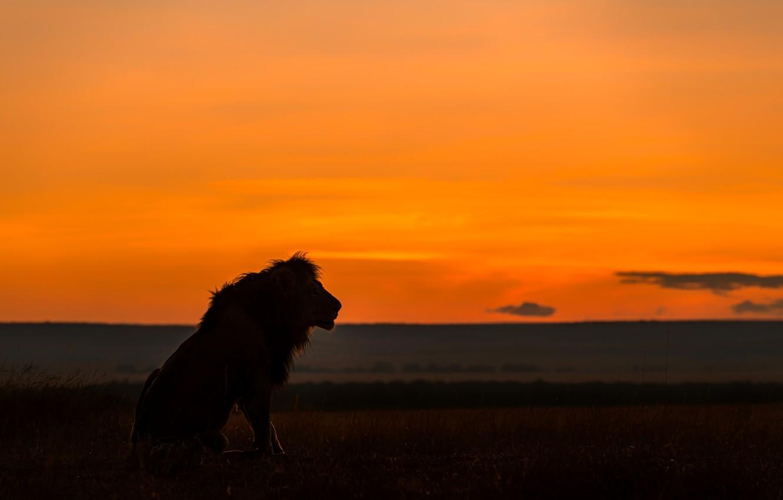 Photo wallpaper Leo, silhouette, Savannah, lion, savannah, silhouette, Jie Fischer