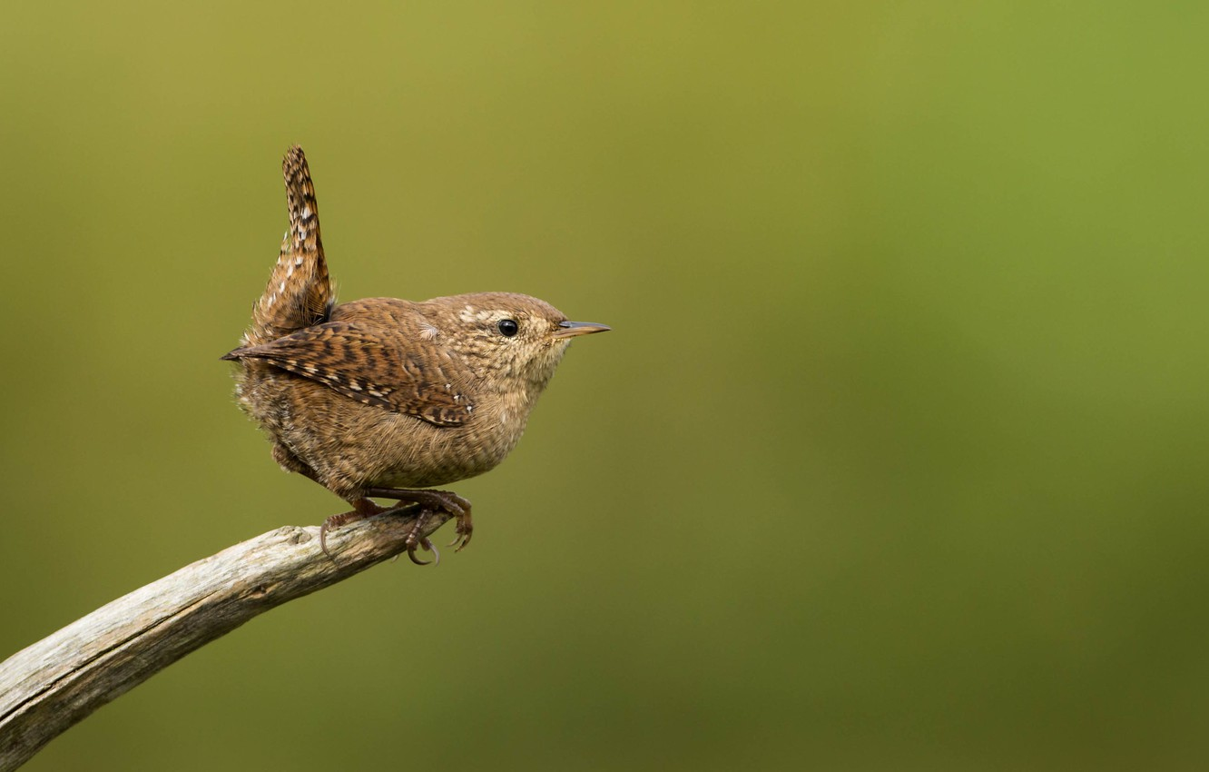 Photo wallpaper bird, branch, bird, Wren