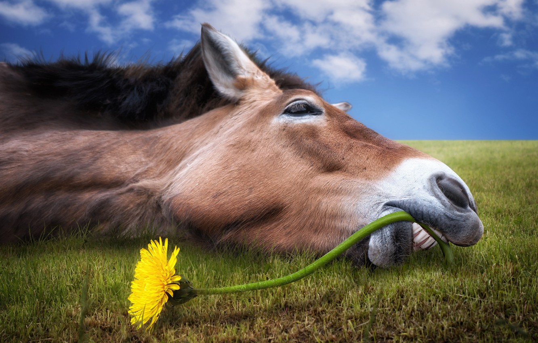 Photo wallpaper greens, field, flower, the sky, grass, face, clouds, yellow, dandelion, horse, humor, teeth, horizon, lies, …