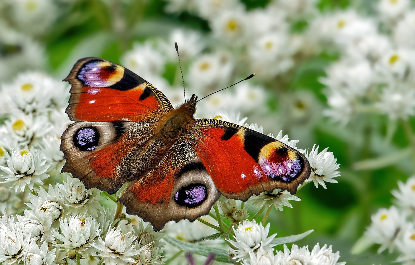 Photo wallpaper flowers, butterfly, white